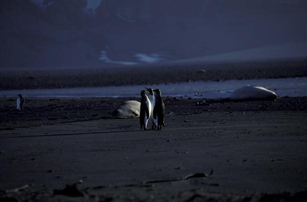 King Penguins on beach_1