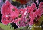 Stylantheca papillosa from Porlier Pass, Gulf Islands, British Columbia