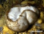 Stelletta clarella
