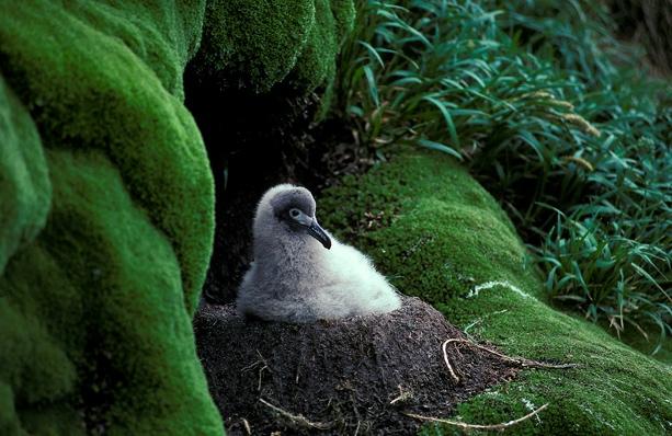 Light-mantled Sooty Albatross  #1E0869