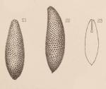 Lagena apiculata var. punctata Sidebottom, 1912