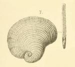 Peneroplis planatus var. laevigata