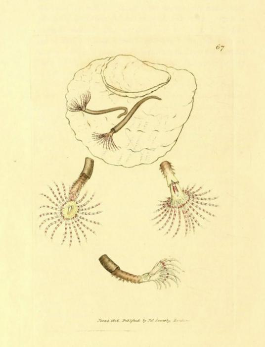 Amphitrite rosea Sowerby, 1806, original plate at BHL