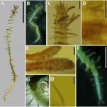 Paraopisthosyllis correiae in life