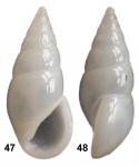 Sulcorissoina stasii Faber & Gori, 2016