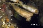 Styela montereyensis