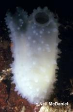 Ascidia paratropa