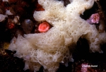 Clathrina coriacea