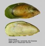 Spain, Canarias, Las Palmas, Lanzarote, Isla Graciosa, Punta Corrales,collected 1995-12-00, ex coll. J. Trausel. Image by Joop Trausel and Frans Slieker.