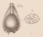 Lagena auriculata var. duplicata Sidebottom, 1912