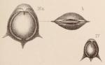 Lagena fasciata var. spinosa Sidebottom, 1912