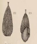 Lagena foveolata var. paradoxa Sidebottom, 1912