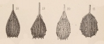 Lagena foveolata var. spinipes Sidebottom, 1912