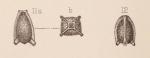 Lagena galeaformis Sidebottom, 1912