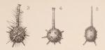 Lagena hispida var. tubulata Sidebottom, 1912