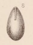 Lagena laevigata var. virgulata Sidebottom, 1912