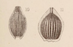 Lagena marginata var. striolata Sidebottom, 1912