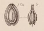 Lagena orbignyana var. unicostata Sidebottom, 1912