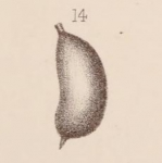 Lagena sacculiformis Sidebottom, 1912