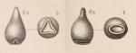 Lagena stelligera var. eccentrica Sidebottom, 1912