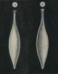 Lagena laevis var. amphora Williamson, 1848
