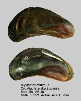 Mytilaster minimus