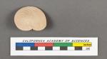Amphistegina vulgaris d'Orbigny, 1826