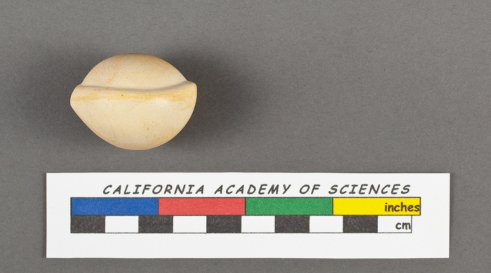 Biloculina bulloides d'Orbigny, 1826