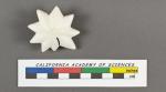 Calcarina calcar d'Orbigny, 1826