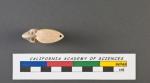 Cristellaria laevigata d'Orbigny, 1826