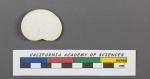 Heterostegina depressa d'Orbigny, 1826