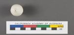 Nodosaria glans d'Orbigny, 1826