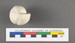Nonionina sphaeroides d'Orbigny, 1832