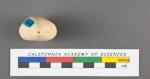 Polymorphina communis d'Orbigny, 1826