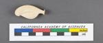 Quinqueloculina ferussacii d'Orbigny, 1826