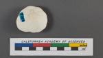 Rotalia punctulata d'Orbigny, 1826