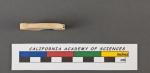 Spiroloculina depressa d'Orbigny, 1826
