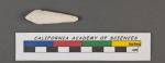 Textularia pigmea d'Orbigny, 1826