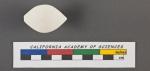 Triloculina tricarinata d'Orbigny, 1826