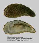 Mytilopsis leucophaeata
