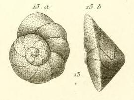 Rotalia rosea d'Orbigny in Guérin-Méneville, 1832