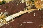 Pectinaria granulata