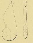 Cristellaria lituus d'Orbigny, 1850