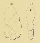 Cristellaria rawackensis d'Orbigny in Fornasini, 1904