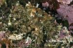 Phyllolithodes papillosus
