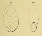 Nonionina elongata d'Orbigny, 1852