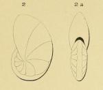 Nonionina elliptica d'Orbigny in Fornasini, 1904