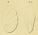 Nonionina rugosa d'Orbigny, 1850