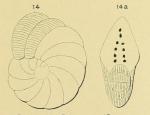 Peneroplis ellipticus d'Orbigny, 1839