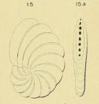 Peneroplis laevigatus d'Orbigny in Fornasini, 1904